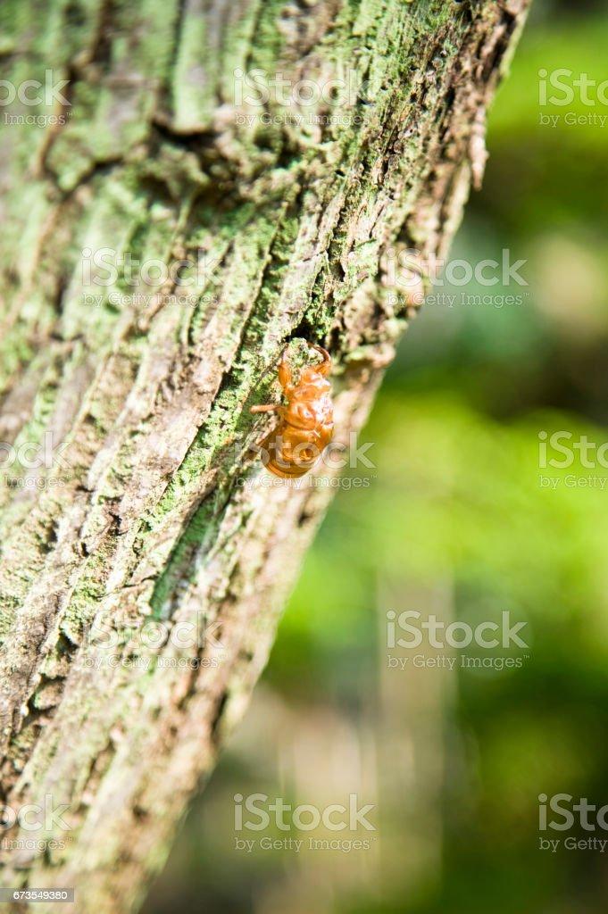 A cicada royalty-free stock photo