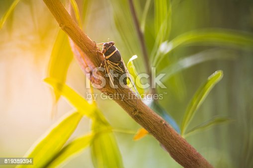 A stock photo of a Cicada sitting on a tree branch. Photographed in Las Vegas, Nevada using the Canon EOS 1DX Mark II and the Canon 300mm f2.8 IS L with 2X Extender.