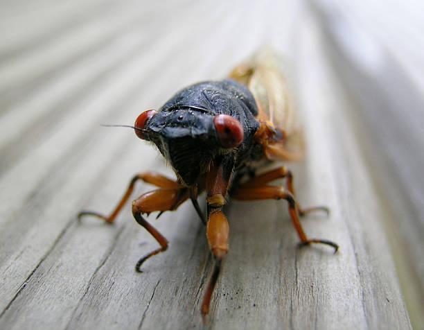 cicada - locust swarm stockfoto's en -beelden