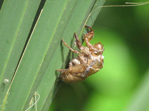 Cicada shell on leaf stock photo