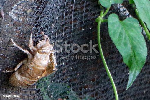 istock Cicada Shell 589980586