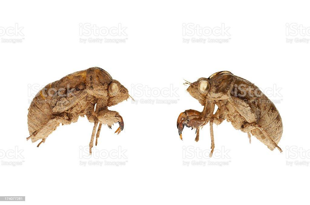 Cicada - Skin royalty-free stock photo