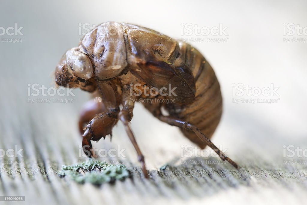 Cicada Skin, Side View, Backlit royalty-free stock photo