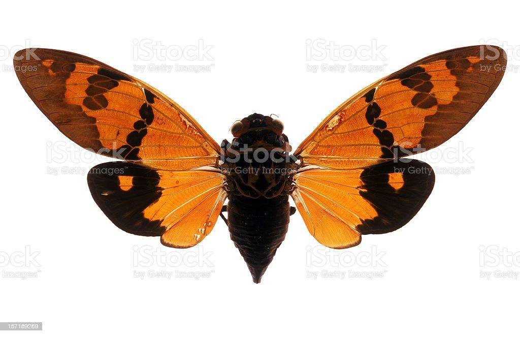 Cicada Specimen royalty-free stock photo