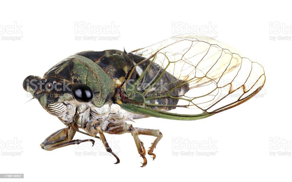 Cicada, Tibicen linnei royalty-free stock photo