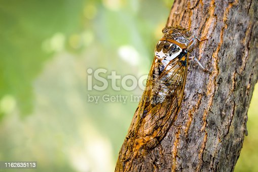 Insect Cicadidae family of cicadas. Cicadoidea insect. Eukaryota Animalia Arthropoda Tracheata Hexapoda Insecta Insecta biology. Traveling concept Australian insects. Biodiversity concept