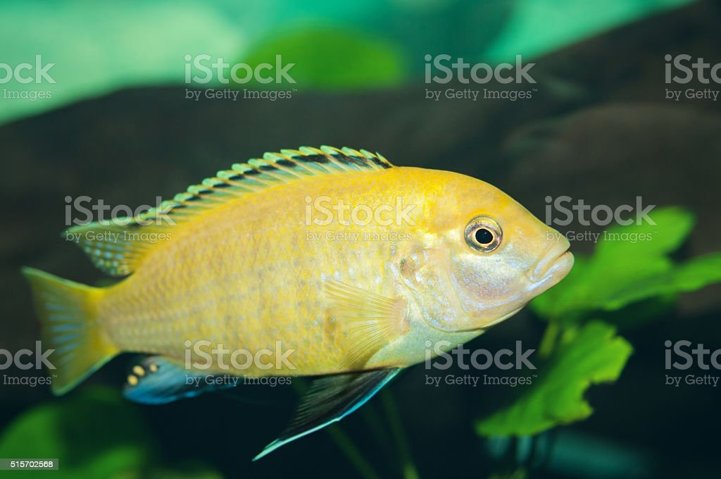 Cichild Fish stock photo