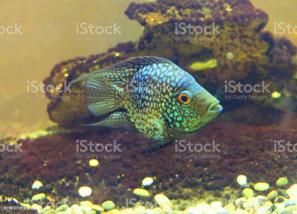 Cichlasoma octofasciatum stock photo