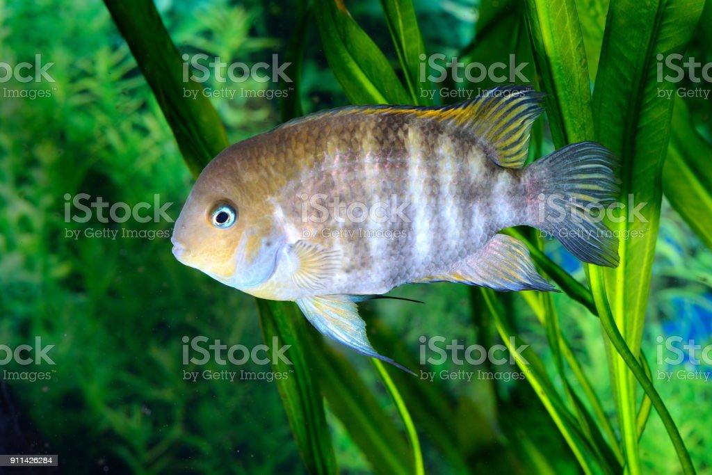 Cichlasoma sajica fish in aquarium stock photo