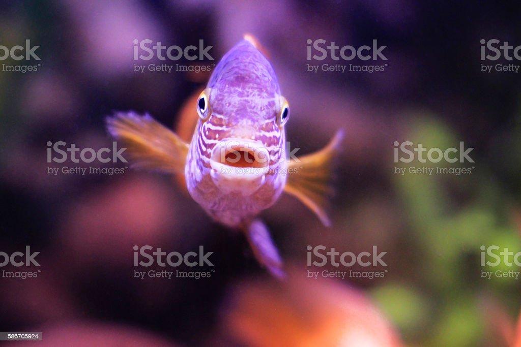 Cichlid fish swimming in the aquarium water stock photo