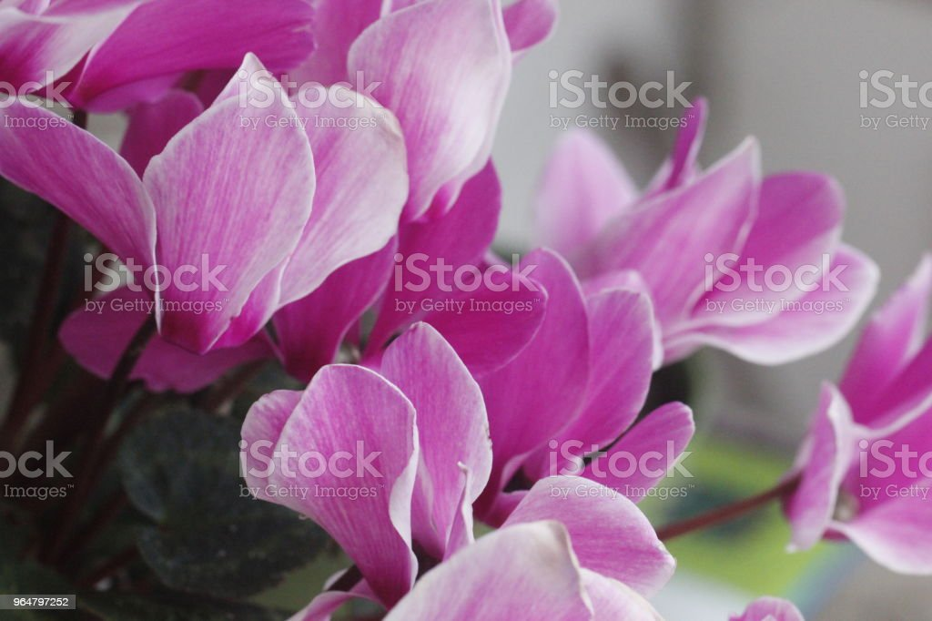 ciclamino fucsia in fiore royalty-free stock photo