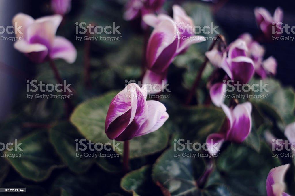 ciclamini viola - foto stock