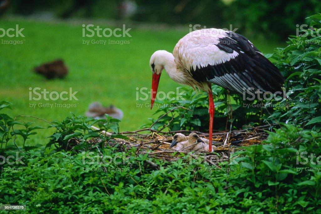 Ciconia ciconia - Cicogna bianca - foto stock