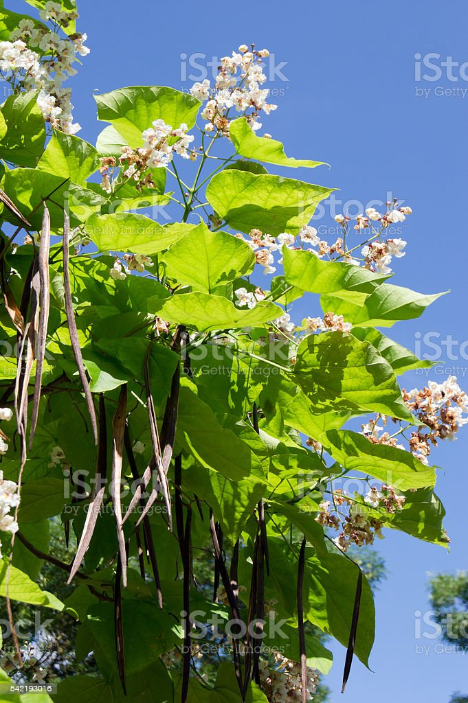 Cigar tree (Catalpa bignonioides) flower stock photo