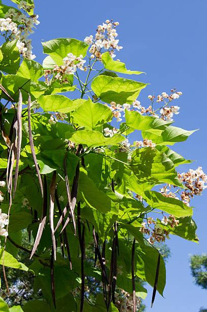 cigar tree (catalpa bignonioides) flower - trompetenbaum stock-fotos und bilder