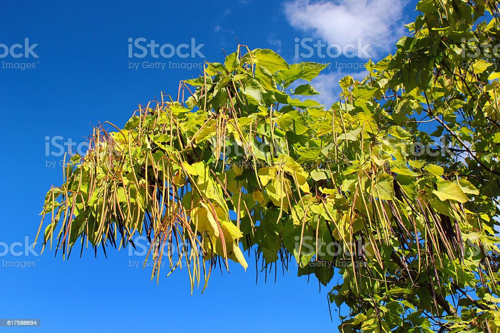 Cigar tree (Catalpa bignonioides) in a park against blue sky stock photo