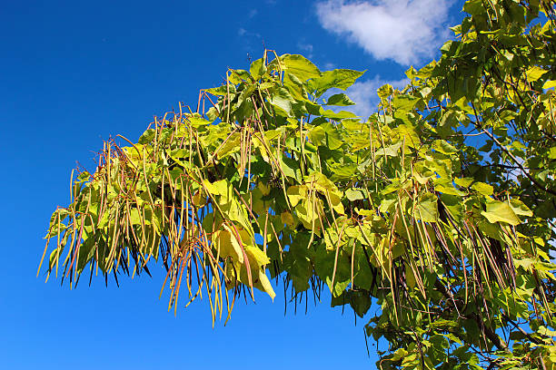 cigar tree (catalpa bignonioides) in a park against blue sky - trompetenbaum stock-fotos und bilder