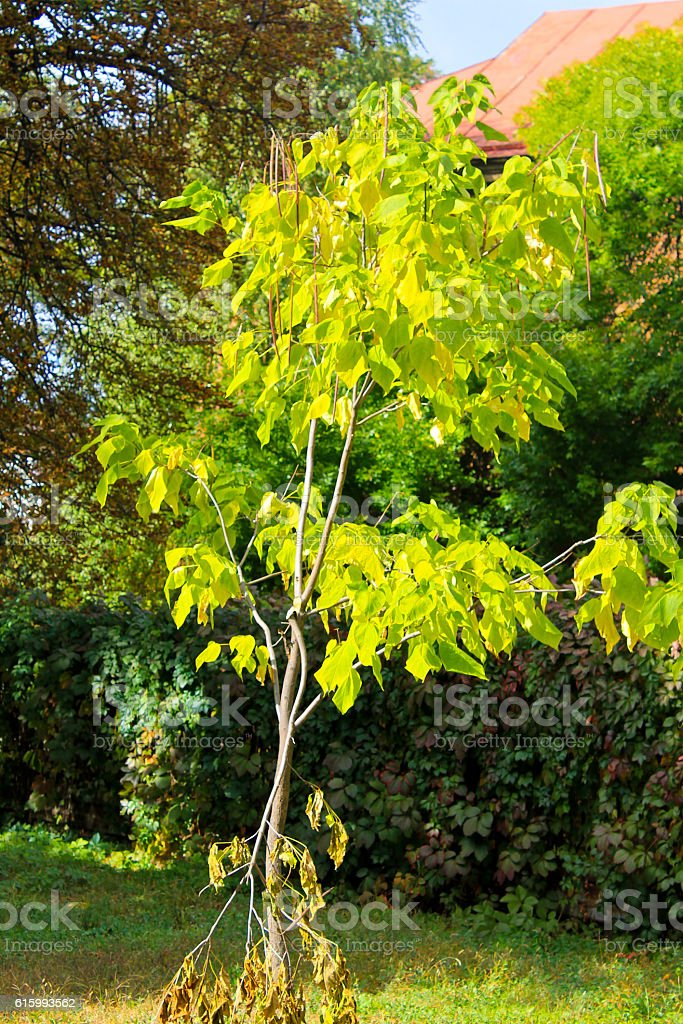 Cigar tree (Catalpa bignonioides) in the  park stock photo