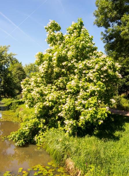 zigarre-baum - trompetenbaum stock-fotos und bilder