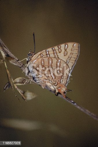 Cigaritis acamas, the tawny silverline, butterfly, India