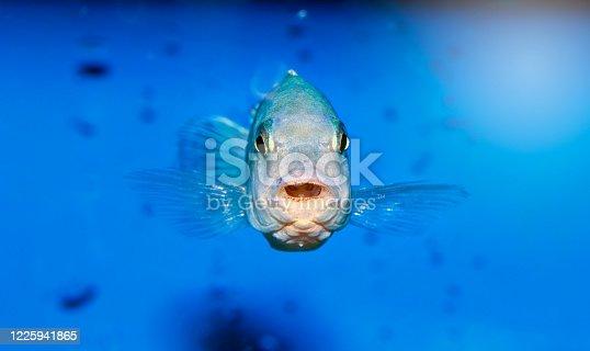 Cihlid Fish on blue background