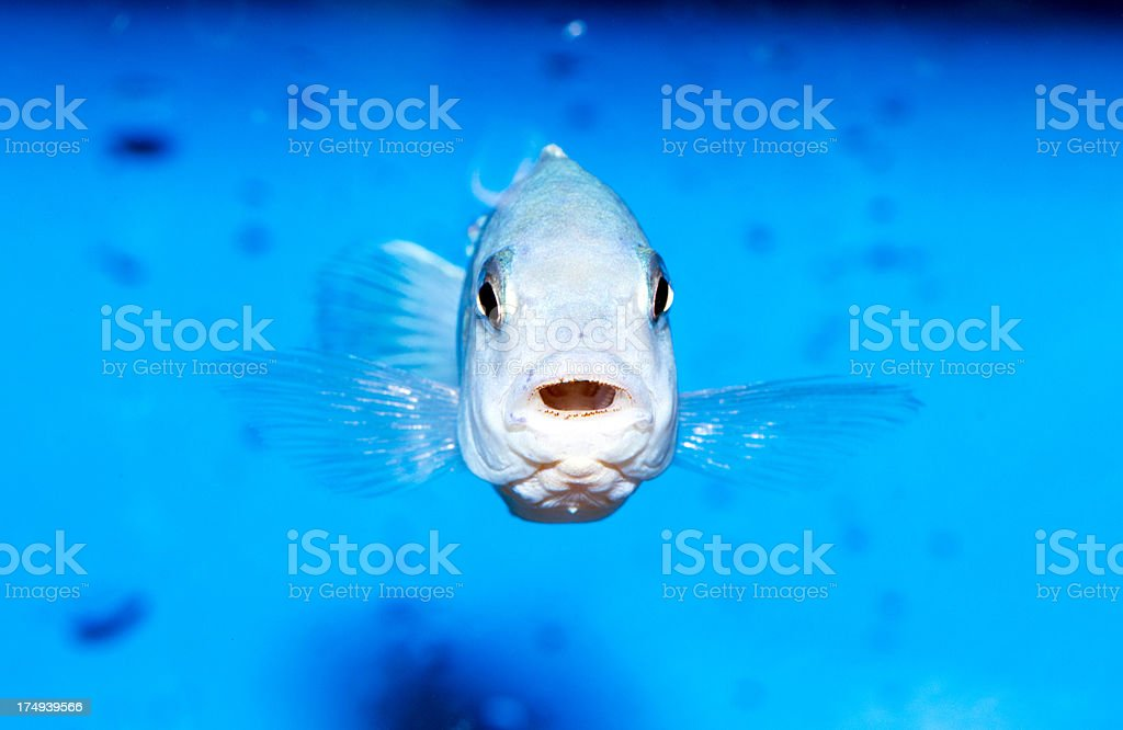 cihlid fish stock photo