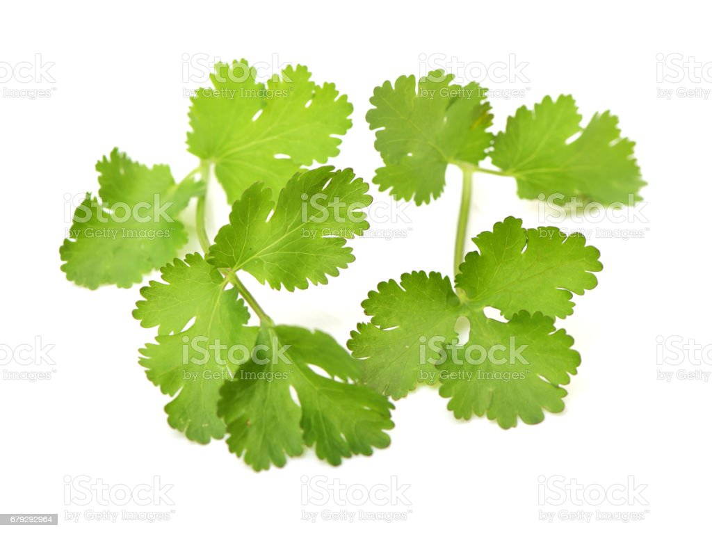 Cilantro Herb Leaf, a Fresh Vegetable Garnish and Seasoning Spice on white background royalty-free stock photo
