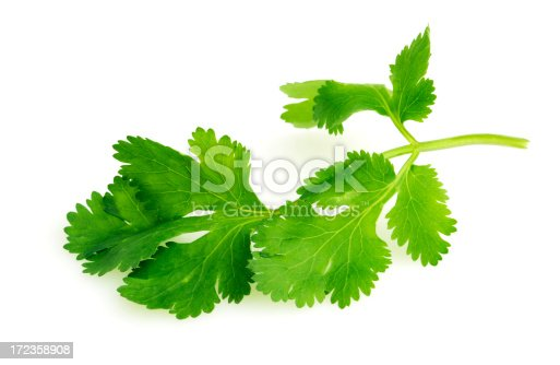 A single sprig of fresh cilantro or coriander leaves, used as a vegetable garnish or seasoning ingredient to add spice and flavor to food, such as in Asian cuisine. The garden green may be organic and is shown isolated on a white background.
