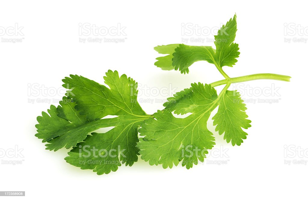 Cilantro Herb Leaf, a Fresh Vegetable Garnish and Seasoning Spice stock photo
