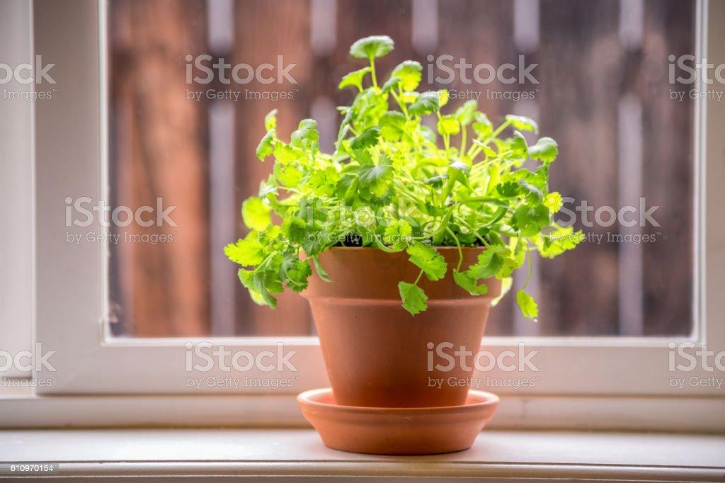Cilantro in a Terra Cotta Pot stock photo