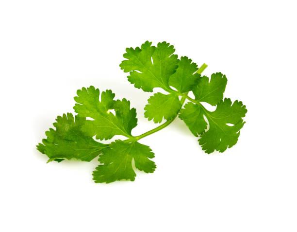 cilantro isolated on white cilantro isolated on white cilantro stock pictures, royalty-free photos & images