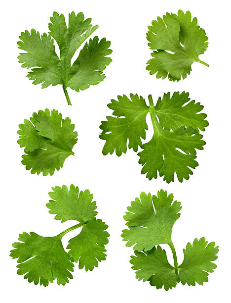 Cilantro Leaves Isolated Cilantro Isolated on a white background cilantro stock pictures, royalty-free photos & images