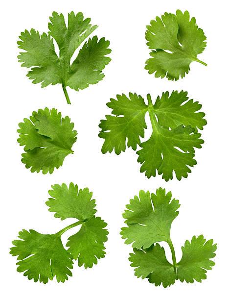 Cilantro Leaves Isolated stock photo