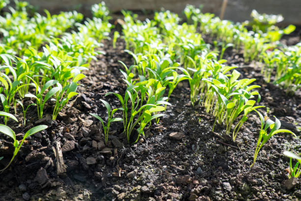 Cilantro or coriander microgreens seedlings growing in garden bed: low angle view with selective focus and copy space. stock photo
