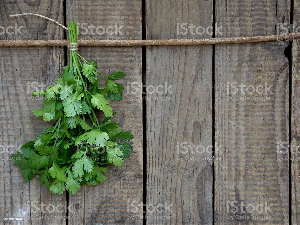 cilantro stock photo