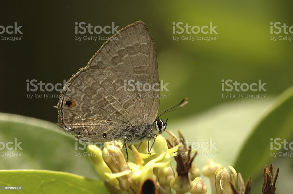 Ciliate Blue - Anthene emolus (Singapore butterfly) stock photo