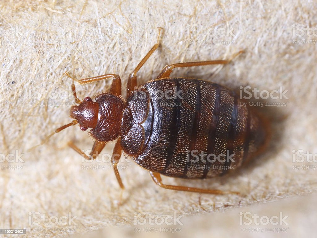 Cimex hemipterus stock photo