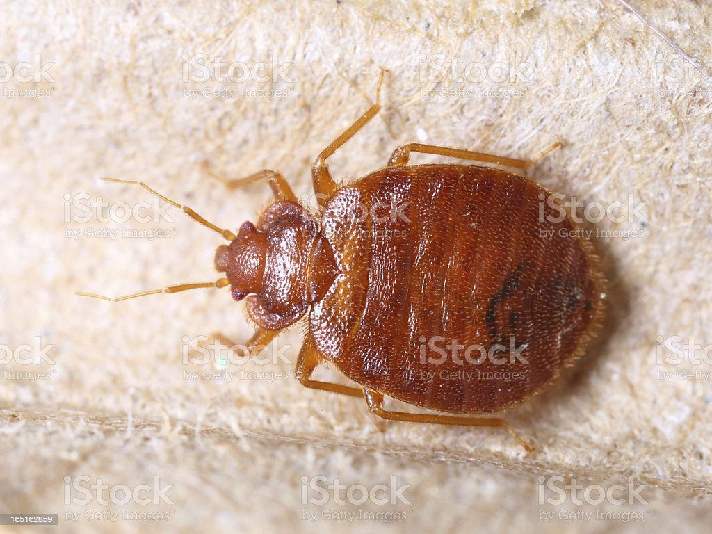 Cimex lectularius stock photo