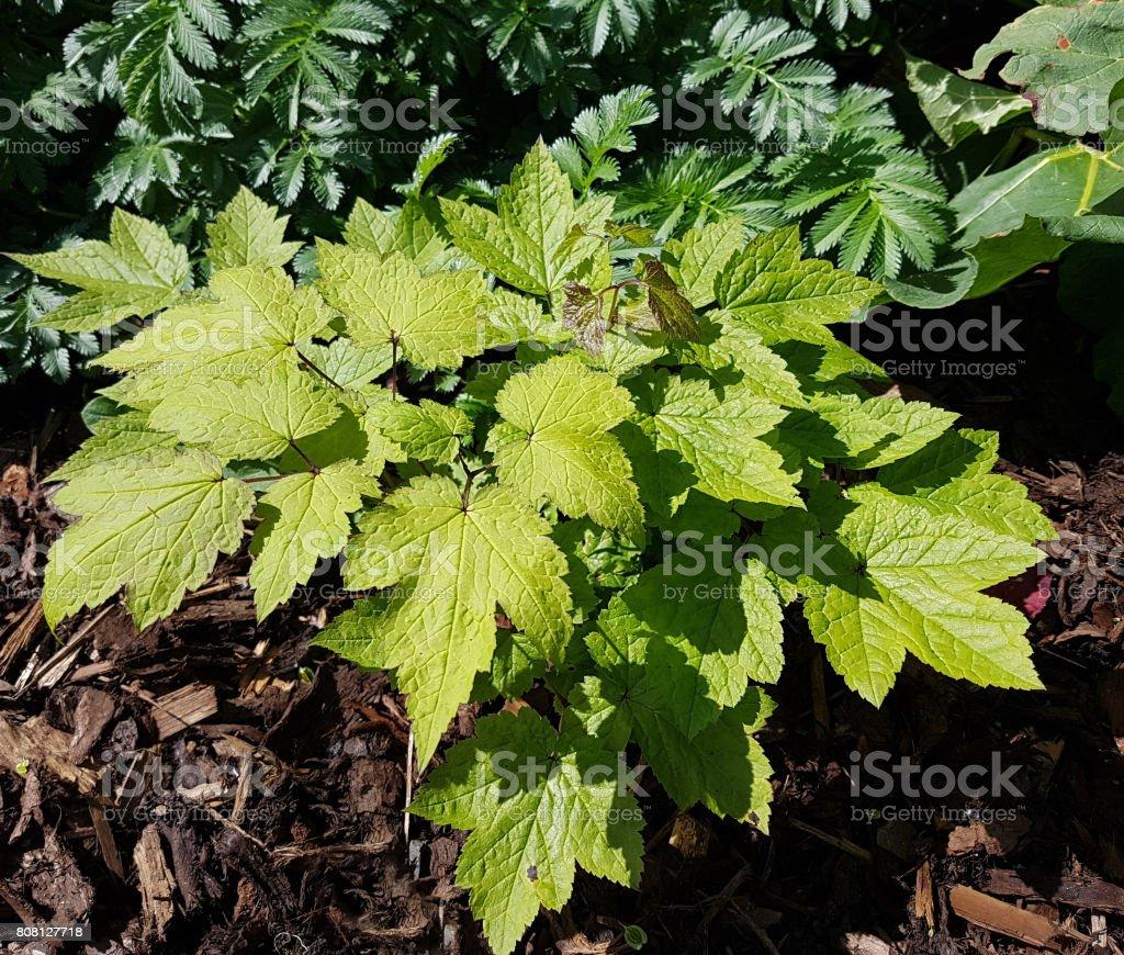 Cimicifuga, racemosa, Black cohosh stock photo