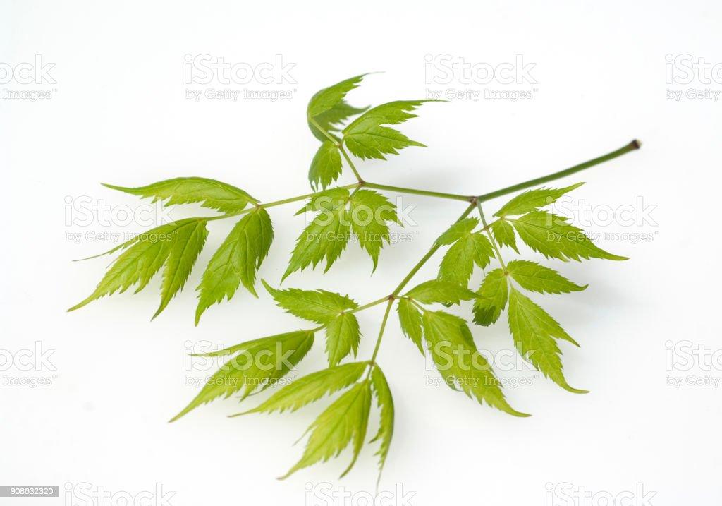 Cimicifuga; racemosa;  Black cohosh; stock photo