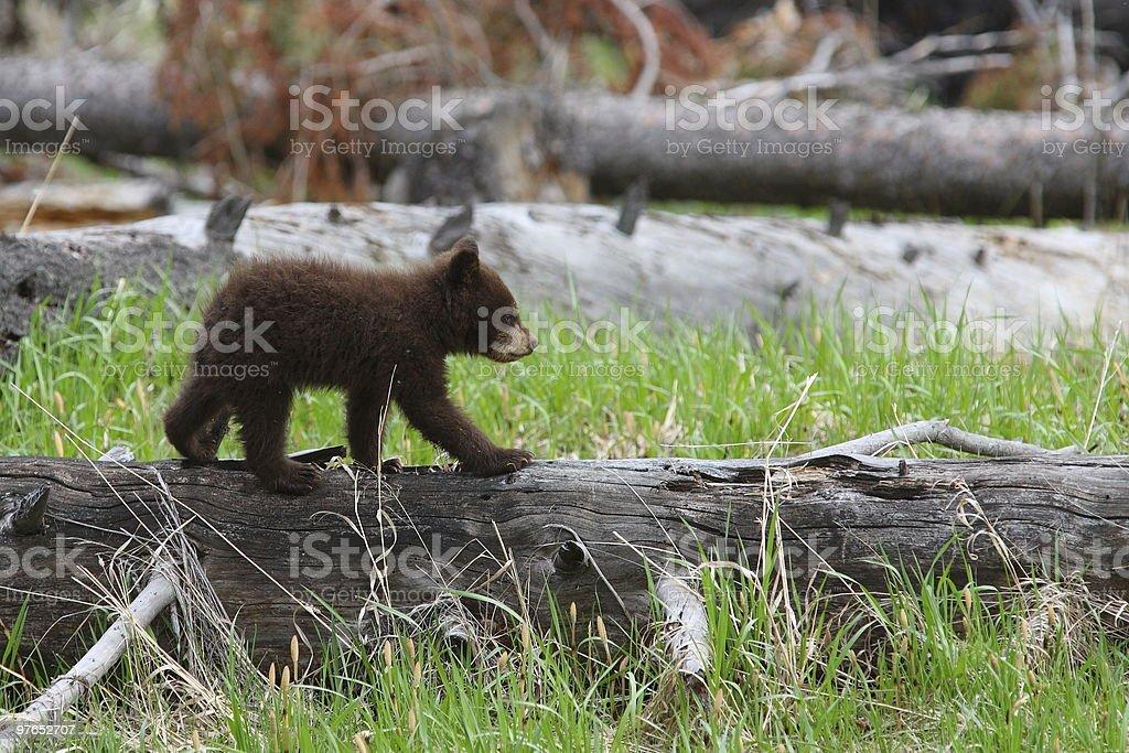 Cinammon Cub stock photo