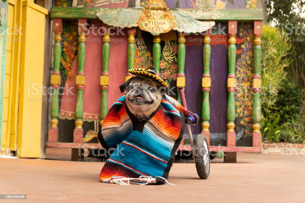 Cinco de Mayo Wheelchair Pug 3 stock photo