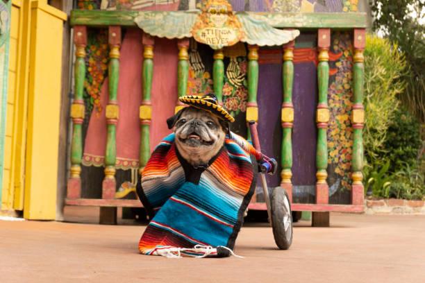 cinco de mayo wheelchair pug 3 - cinco de mayo stock photos and pictures