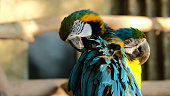 Cine yellow Ara parrot cleans feathers