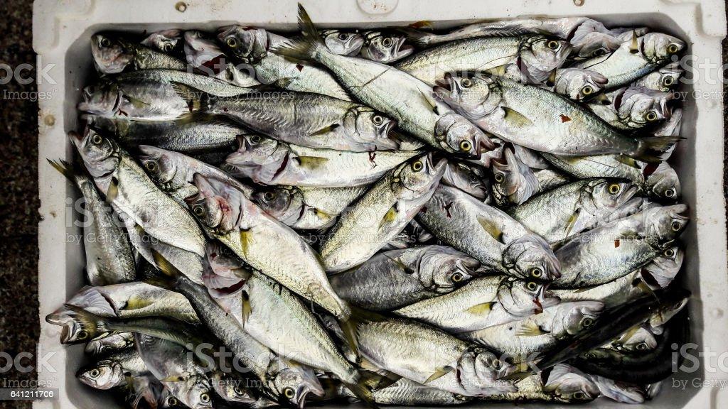 Cinekop Sarikanat Fish With Ice In Styrofoam Box Stock Photo & More