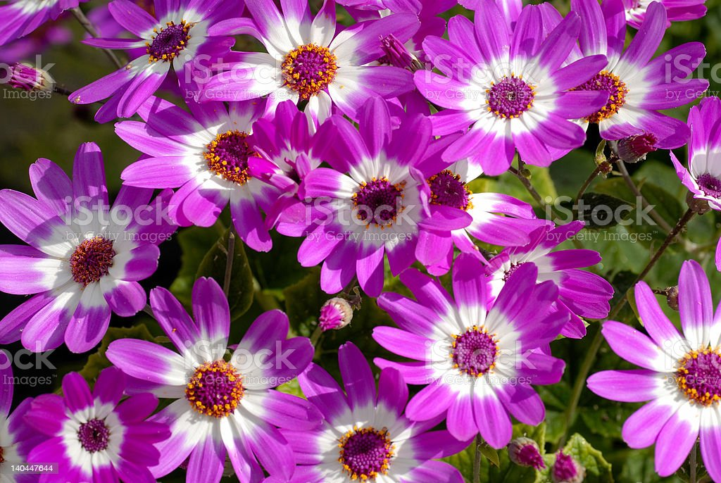 Cineraria blooms stock photo