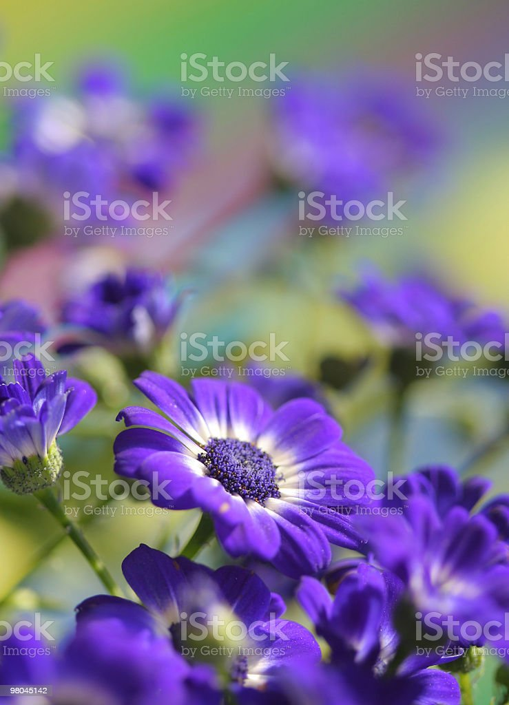 Cineraria royalty-free stock photo