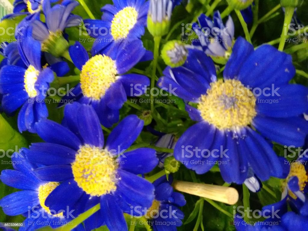 Cineraria's flowers - Blue stock photo