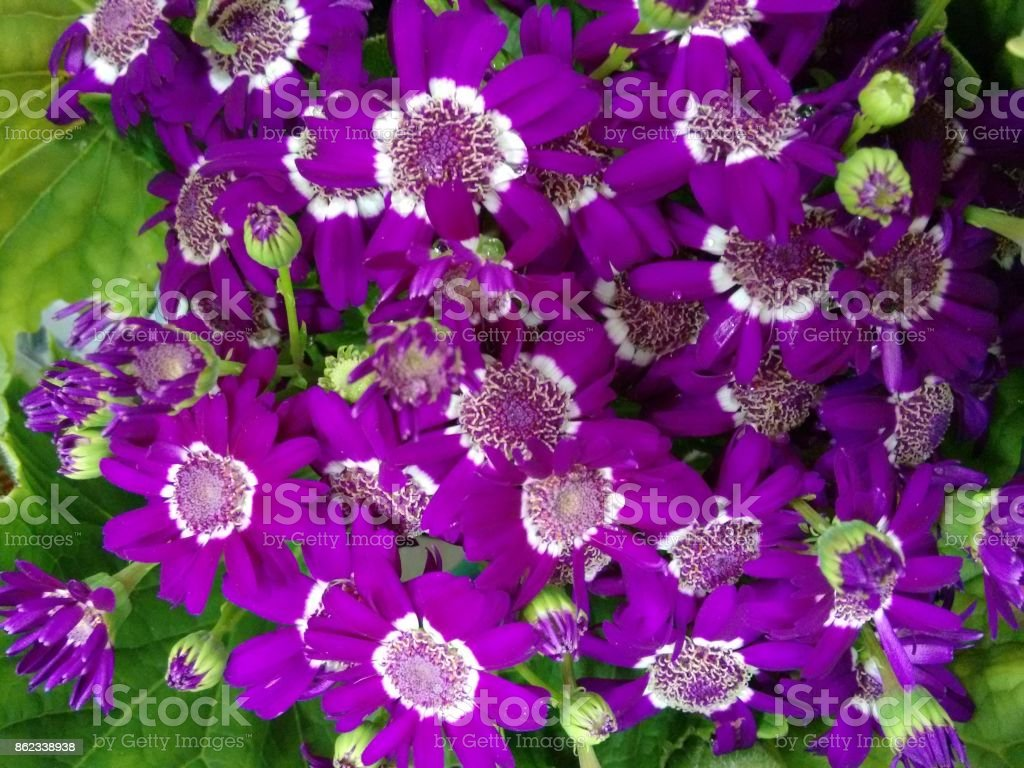 Cineraria's flowers - Lilac and white stock photo