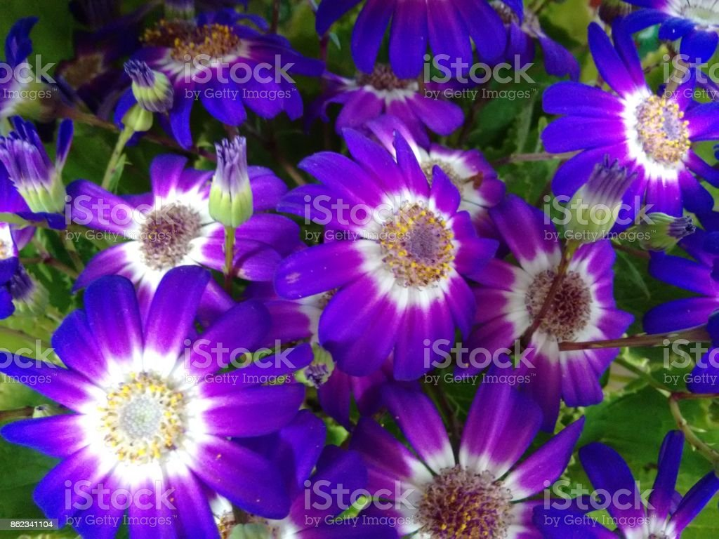 Cineraria's flowers - Purple and white stock photo